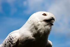 Young arctic snow owl marking its territory high up in the sky. White royalty free stock photo