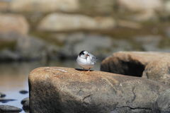 Young arctic tern sitting on a rock Stock Photo