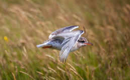 Young Arctic Tern Royalty Free Stock Images
