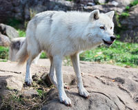 Young Arctic Wolf Standing on Rocks Stock Photo