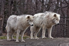Young Arctic Wolves royalty free stock images