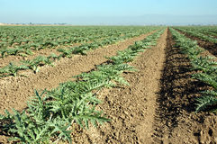 Young artichoke plants 1. Rows of artichoke plants stock image