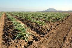 Young artichoke plants 2. Crop of young artichoke plants stock images