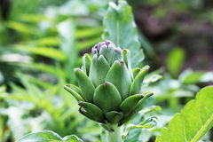 Young artichoke plants grows in a field Royalty Free Stock Image