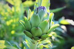 Young artichoke plants grows in a field Stock Photography