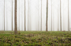 Young artificial forest in the fog Stock Photo