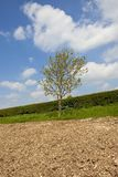 Young ash tree and hedgerow in springtime Royalty Free Stock Photos