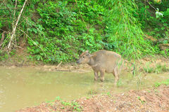 Young asia water buffalo in pond, Bubalus bubalis Royalty Free Stock Photos