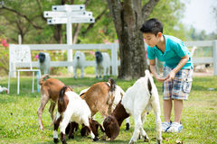 Young asian boy feeding the goats Stock Image