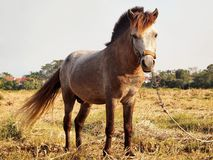 Young Asian Brown Horse stock images