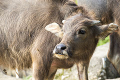 Young asian buffalo Stock Image