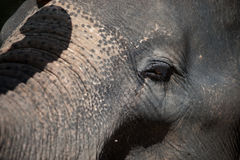 Young Asian elephant . Stock Photo