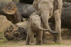 Young Asian elephant Stock Photography