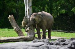 Young Asian elephant eat food. Young Asian elephant (Elephas maximus indicus) eat food. Elephants have the biggest ears and the longest nose of any animal in the royalty free stock photography