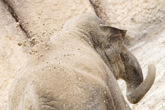 Young asian elephant (Elephas maximus) throwing sand, selective Stock Photo