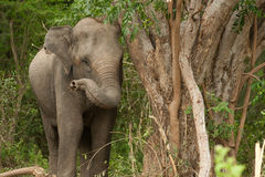Young Asian Elephant in the forest. Stock Photos