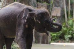 Young Asian Elephant 2 Stock Photos