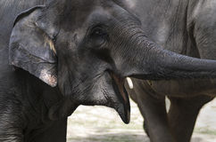 Young Asian Elephant Royalty Free Stock Photo