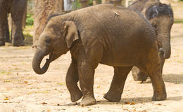 A young Asian Elephant Stock Photo