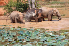 Young Asian elephants bathing Royalty Free Stock Image