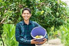 Young Asian farmer picking mango fruit in organic farm stock photo