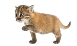 Young Asian golden cat reaching, Pardofelis temminckii Royalty Free Stock Photo