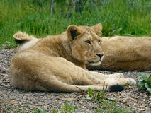Young Asian Lion / Asiatic Lion Cub. Lying on the ground resting. royalty free stock photo