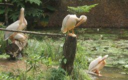 Young asian white pelicans - 3 Stock Photo