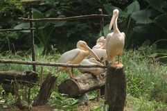 Young asian white pelicans - 5 Royalty Free Stock Images