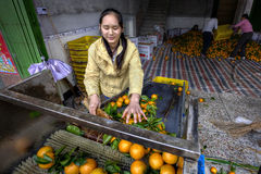 Young Asian woman sorts and handles oranges in the packing house Stock Photos