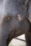 Young Asiatic  elephant. Close up face of young Asian elephant Royalty Free Stock Photos