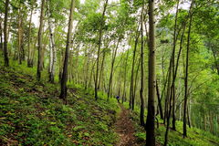 Young aspen forest on the hillside in PADI Emelyanikha. Forest path winds between the ocean and thin progressively leads to the descent to the shore of lake Royalty Free Stock Photos