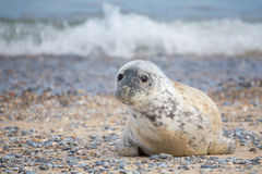 Young atlantic Grey Seal portrait Royalty Free Stock Photos