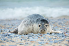 Young atlantic Grey Seal portrait Stock Image