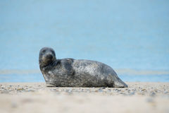 Young atlantic Grey Seal portrait Stock Photo