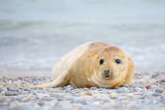 Young atlantic Grey Seal portrait Stock Images