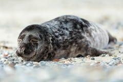 Young atlantic Grey Seal portrait Stock Photo
