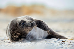 Young atlantic Grey Seal portrait Royalty Free Stock Photography