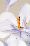 Young attacker mantis. The baby praying mantis standing on a flower in attacker position royalty free stock images