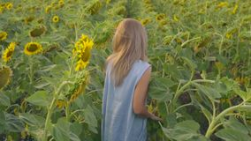 Young attractive blond woman walking in a field of sunflowers, turning around and looking in the camera. Slowmotion shot.  stock video