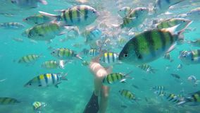 Young attractive caucasian woman feeding fish underwater. School of colorful fish. Fish being scared and flee away - stampede in Turquoise Tropical Waters stock video