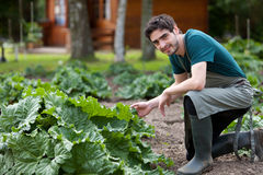 Young attractive farmer harvesting rhubarb Royalty Free Stock Images