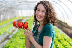 Young attractive farmer harvesting tomatoes Royalty Free Stock Photos