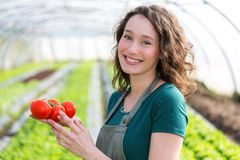 Young attractive farmer harvesting tomatoes Stock Image