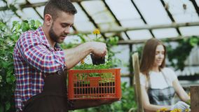 Young attractive florists couple in apron working in greenhouse. Cheerful man with box of flowers talking woman loosen. Young attractive florists couple in apron Royalty Free Stock Photos