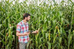 Young attractive man with beard checking corn cobs in field. In late summer royalty free stock photo