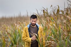 Farmer in corn field. Young attractive man with beard checking corn plants in field in late summer Stock Image