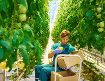 Young attractive man harvesting tomatoes in greenhouse Stock Photos