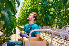 Young attractive man harvesting tomatoes in greenhouse Stock Images