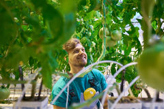 Young attractive man harvesting tomatoes in greenhouse Royalty Free Stock Images